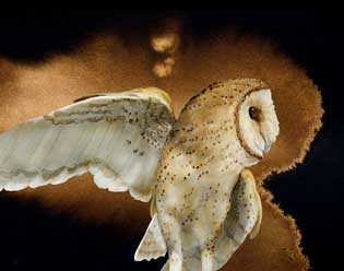 Barn Owl by Jeannine Chappell